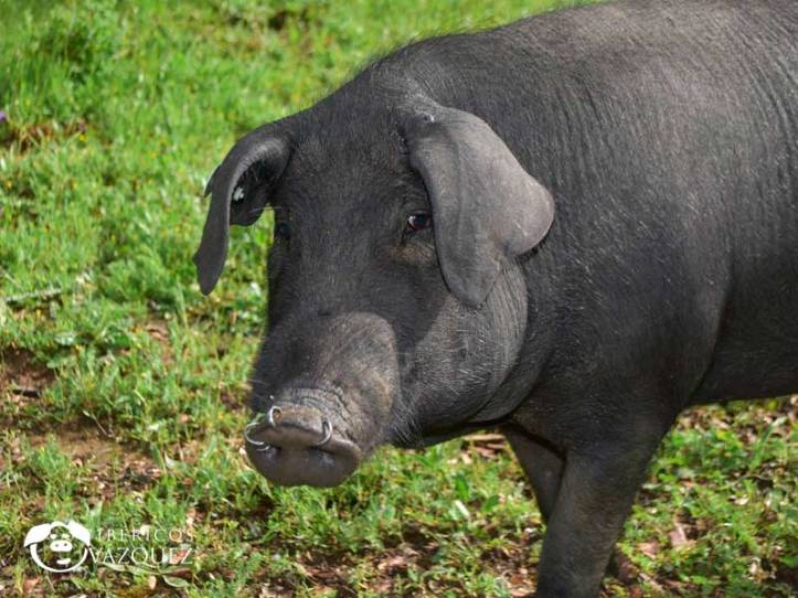 cerdo_iberico_aracena